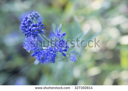 Caryopteris Stock Photos, Royalty.