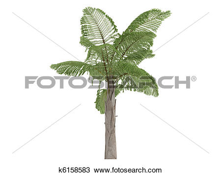 Drawing of Giant Mountain Fishtail Palm or Caryota gigas k6158583.
