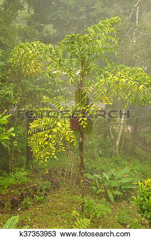 Stock Photo of Fishtail Palm (Caryota mitis) k37353953.