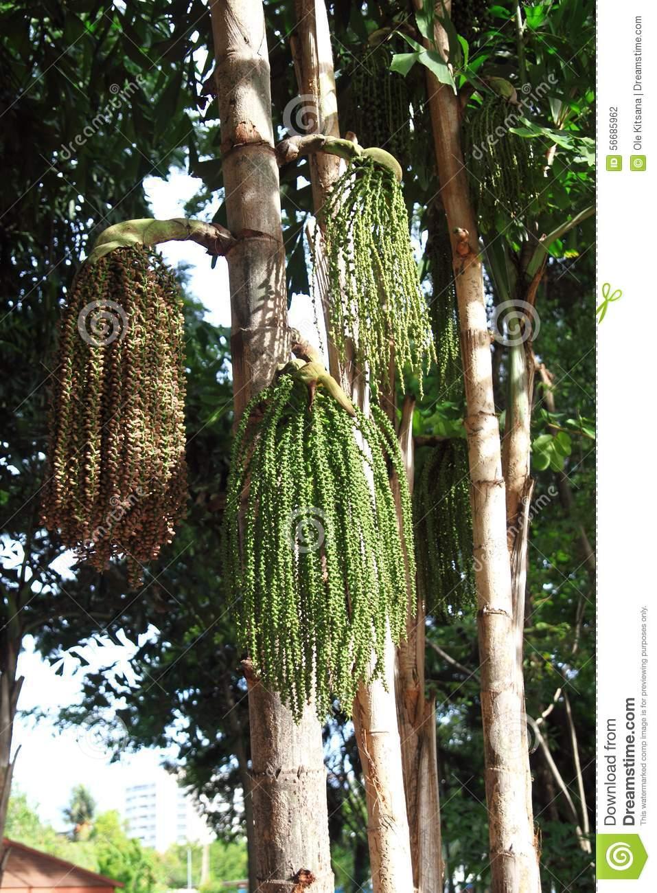 Caryota Urens Palm Stock Photo.