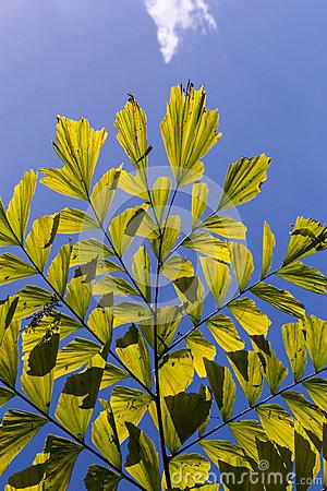 Caryota Mitis Lour Palm Stock Photography.
