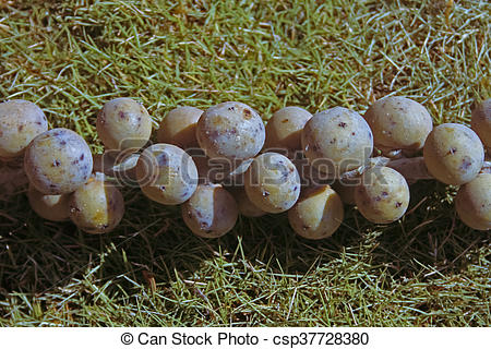 Pictures of Fruits of Caryota urens, Fishtail Palm, Jaggery Palm.