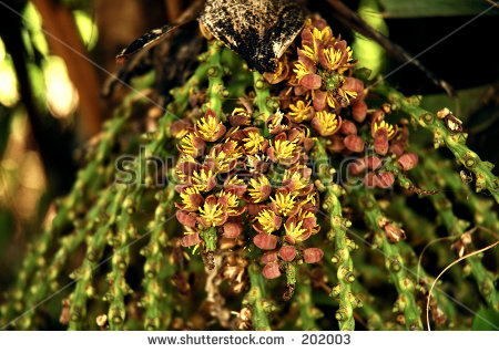 Fishtail Palm Seed, Caryota Mitis Stock Photo 202003 : Shutterstock.