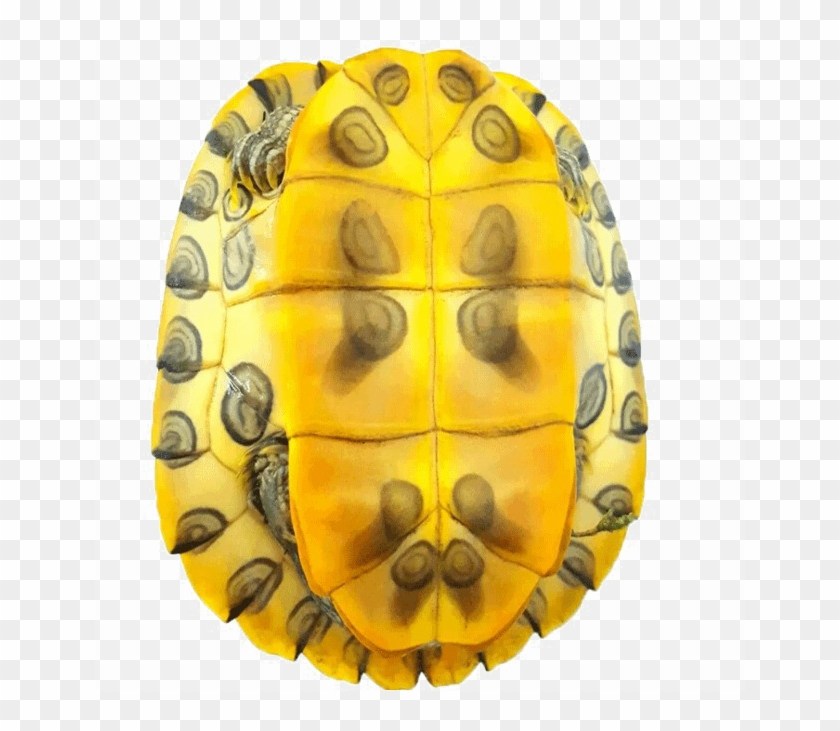 Turtle Shell Png Image Background.