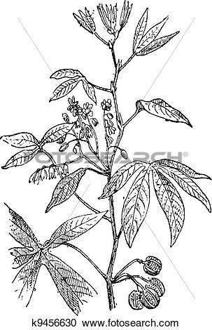 Clipart of Cassava or Manihot esculenta, vintage engraving.