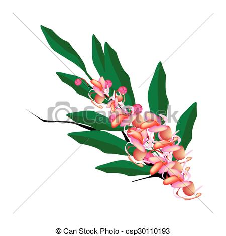 EPS Vectors of Pink Cassia Fistula Flower on White Background.