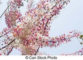 Stock Images of Cassia bakeriana tree with pink flowers, also.