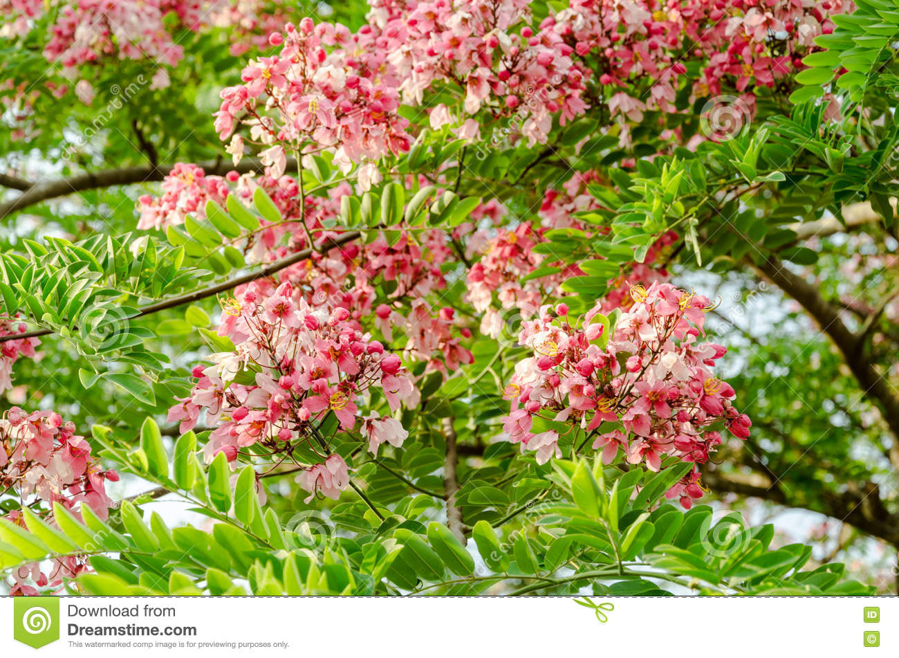 Pink Cassia Javanica Flower With Green Leaves Stock Photo.