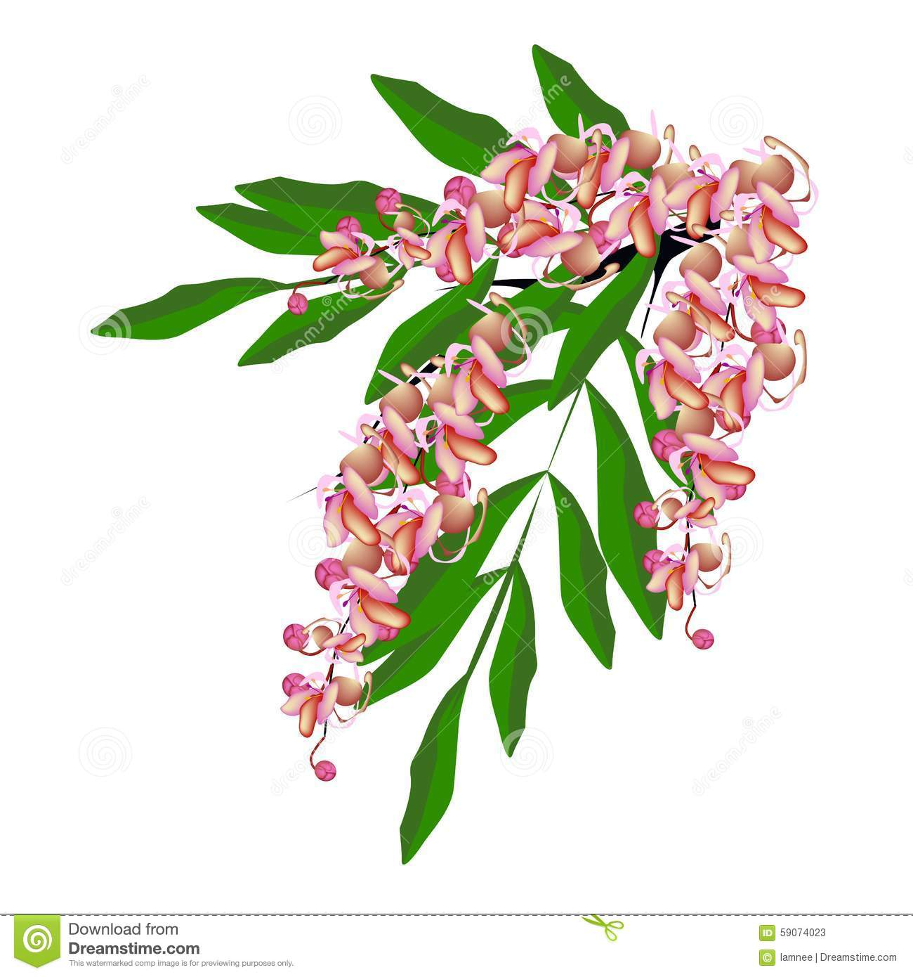 Pink Cassia Fistula Flower On White Background Stock Vector.