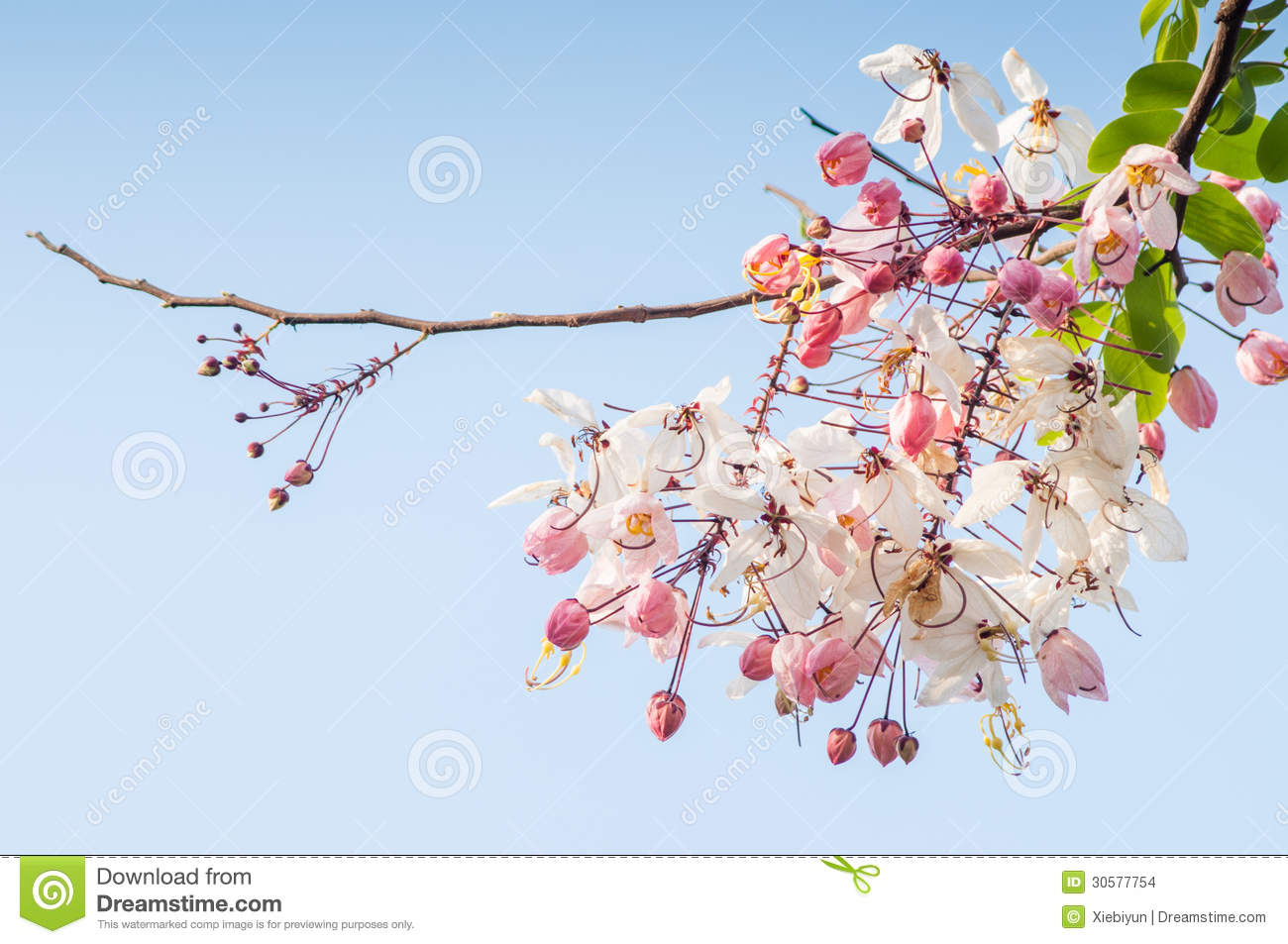 Pink Or Rainbow Shower Tree (Cassia Javanica) . Stock Photo.