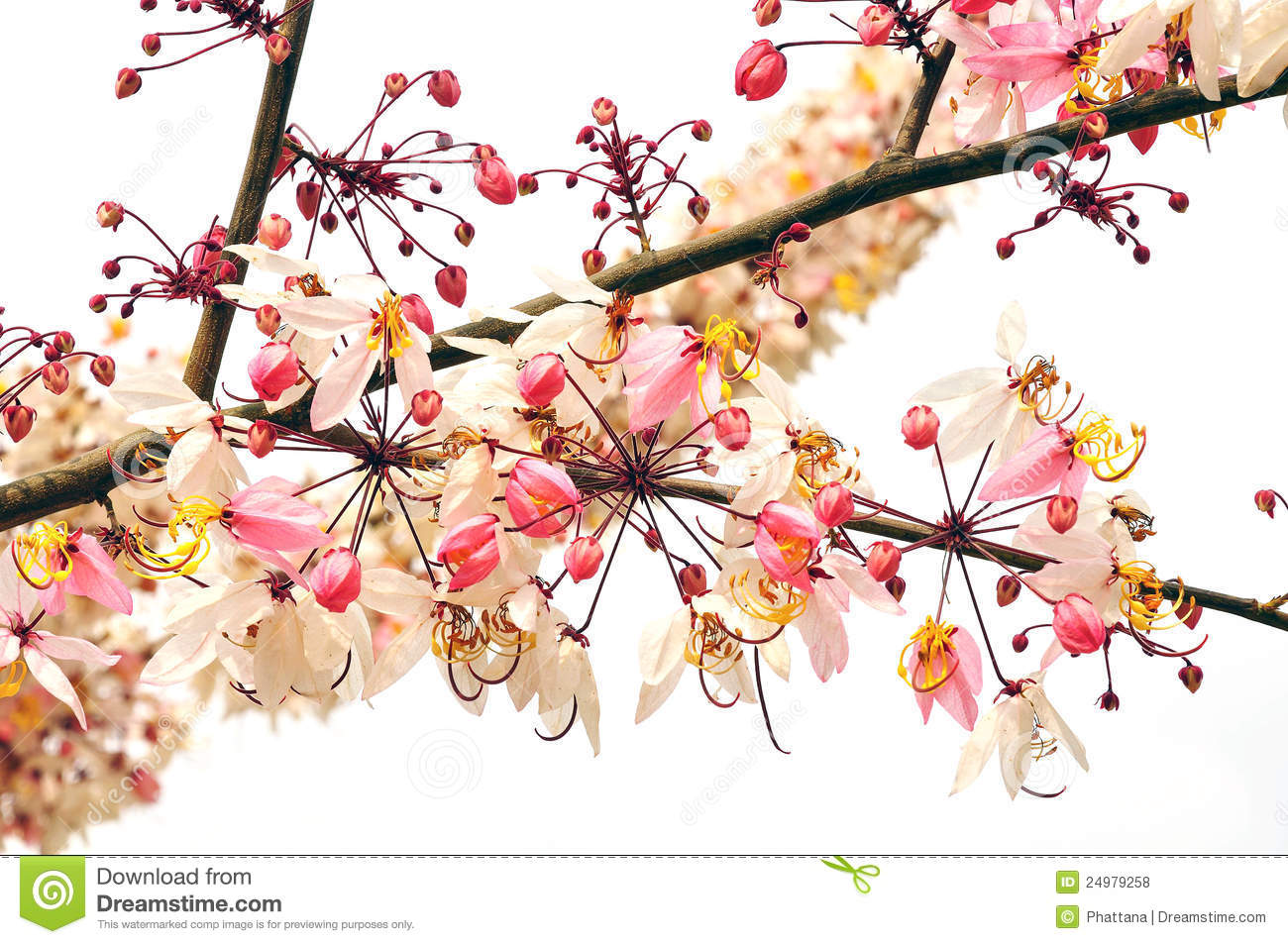 Pink Cassia Flower Bouquet Royalty Free Stock Photos.