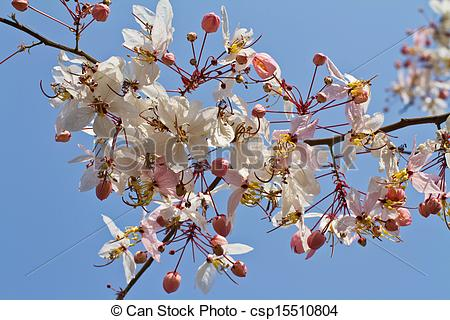 Stock Photography of Pink cassia flower on blue sky, Sakura of.