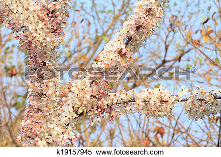 Stock Image of Cassia Bakeriana Craib,Wishing Tree, Pink Showe.