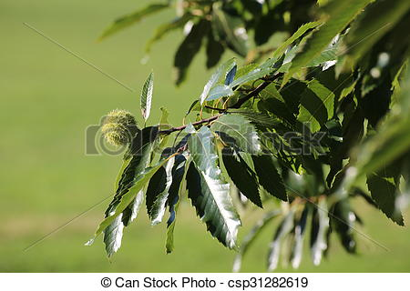 Clipart of Single sweet chestnut (Castanea sativa) on a tree.