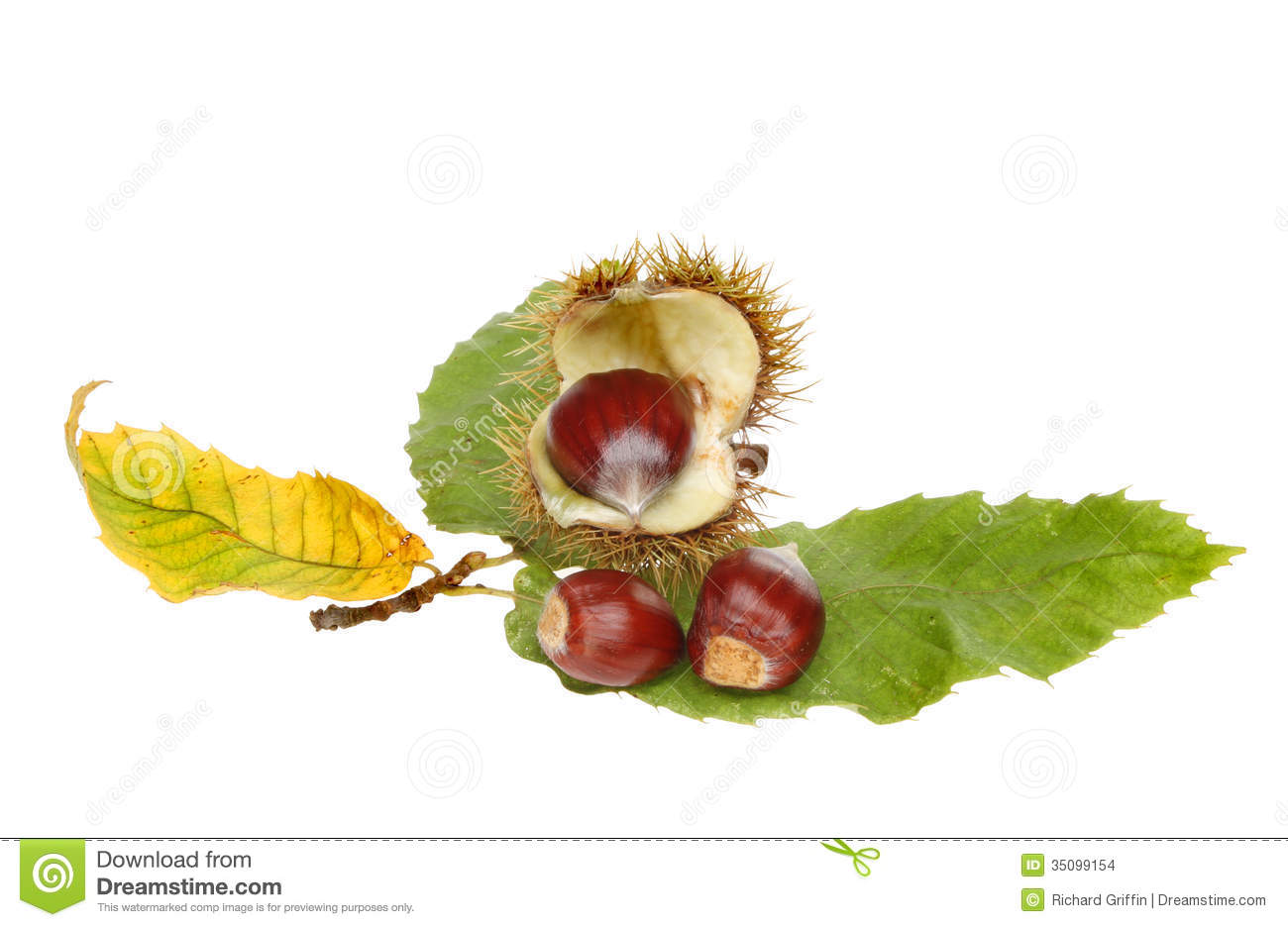 Sweet Chestnut Stock Images.