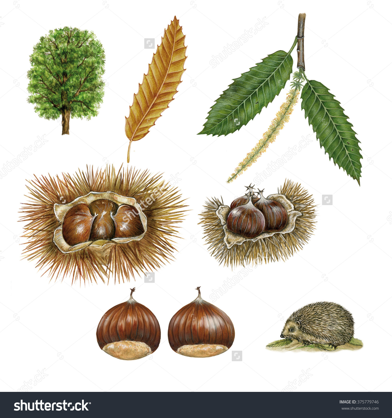 Realistic Botanic Illustrations Chestnut Castanea Sativa Stock.