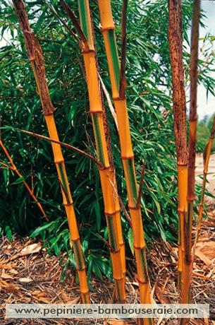 Bamboo details : Phyllostachys bambusoides 'Castillonis'.
