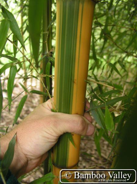 Information about Phyllostachys bambusoides 'Castillon' at Bamboo.