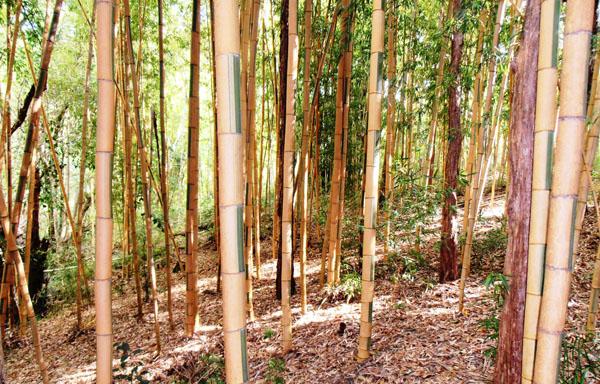 Bamboo Australia » Castilloni's bamboo.