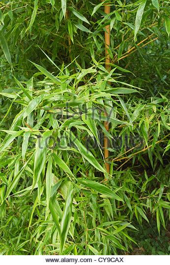 Giant Timber Bamboo Stock Photos & Giant Timber Bamboo Stock.