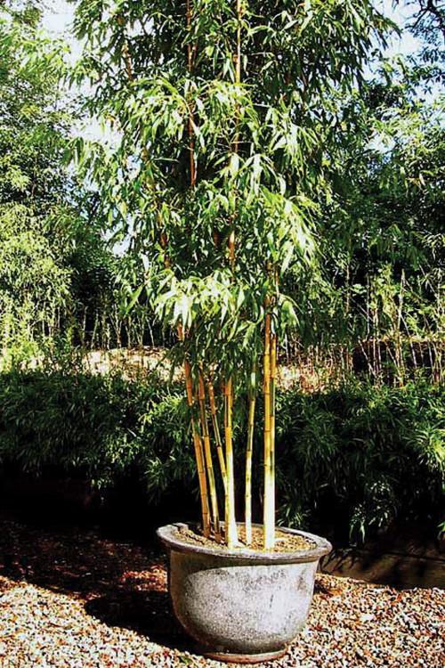 Phyllostachys bambusoides 'Castillonis', Bambuparque.