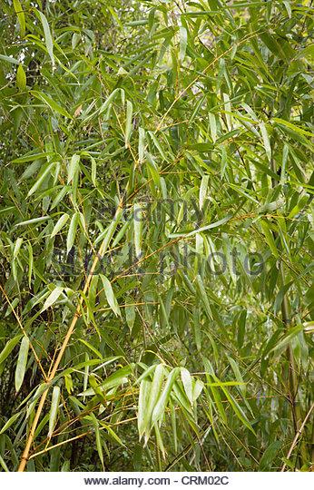 Bamboo Leaves Closeup Stock Photos & Bamboo Leaves Closeup Stock.