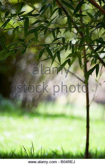 Bamboo Plant Cane Stalk Stock Photos & Bamboo Plant Cane Stalk.