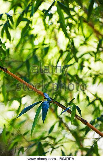 Phyllostachys Bambusoides Stock Photos & Phyllostachys Bambusoides.