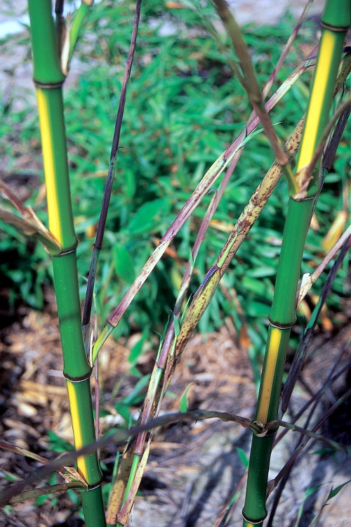 Phyllostachys bambusoides 'Castillonis' inversa, Bambuparque.