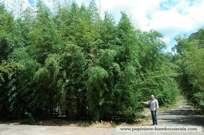 Bamboo details : Phyllostachys bambusoides 'Castilloni inversa'.