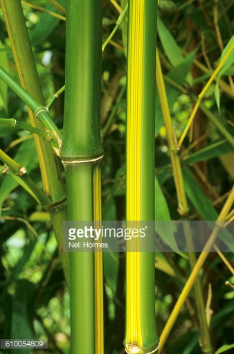 Phyllostachys Bambusoides Castillonis Inversa Stock Photo.
