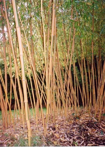 Phyllostachys bambusoides.