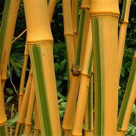 Phyllostachys bambusoides 'Castillonis'.