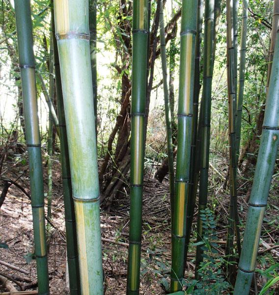 Bamboo Australia » Inverted castilloni's bamboo.