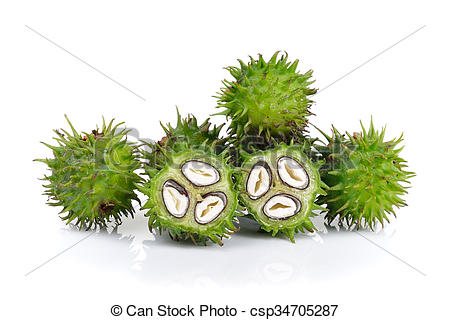 Pictures of Castor oil plant on white background csp34705287.