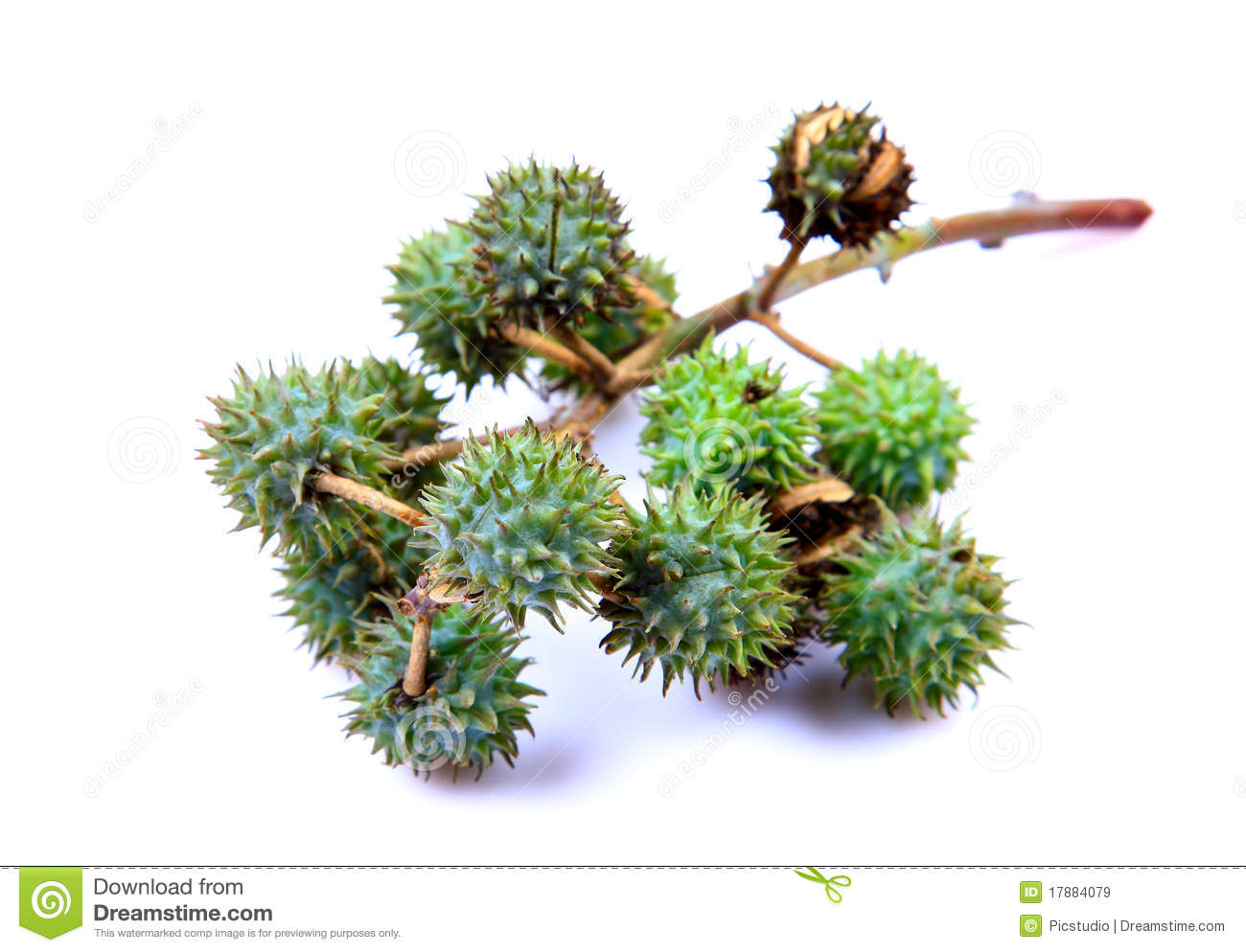 Castor Fruits Stock Image.
