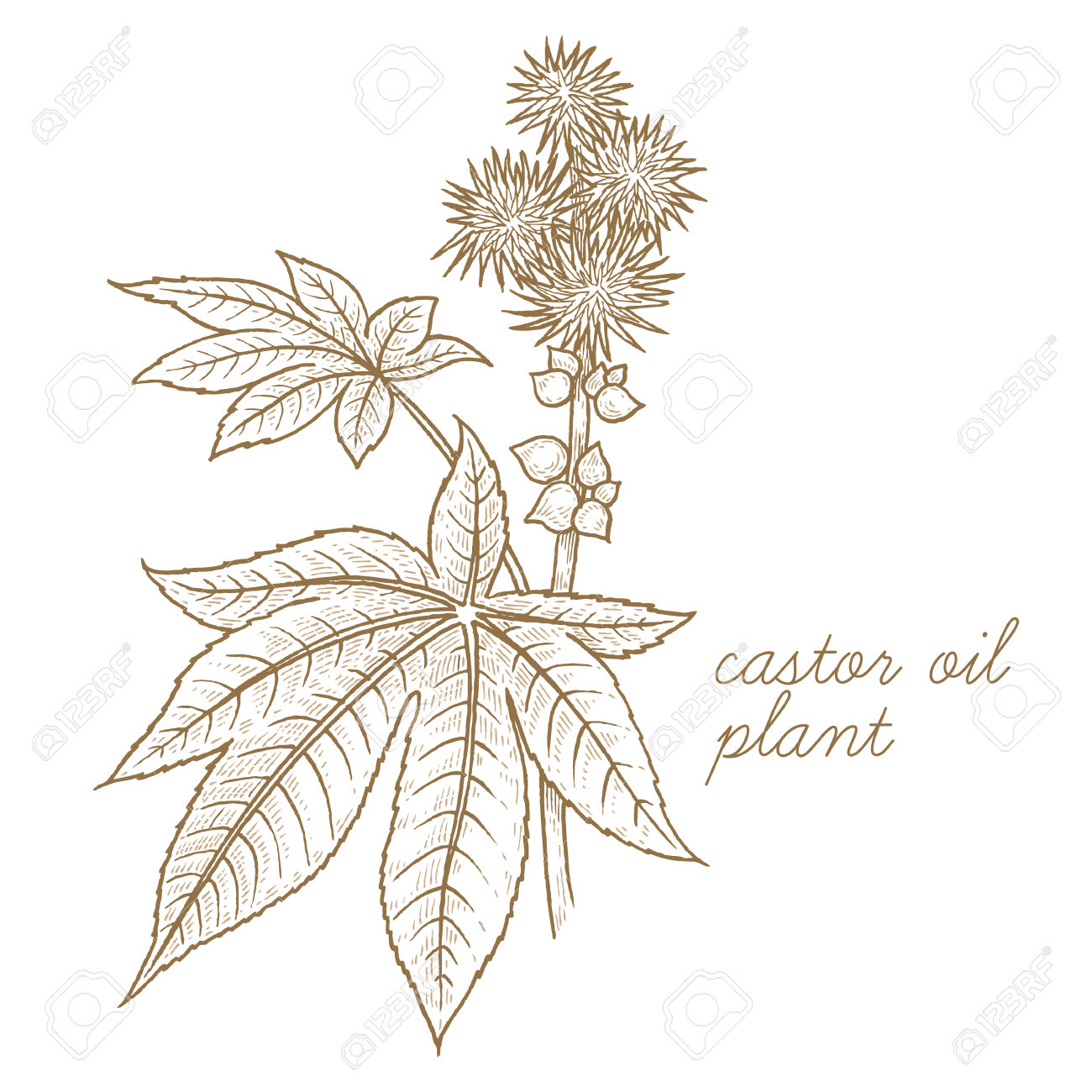 Castor Oil Plant. Vector Image Isolated On White Background.