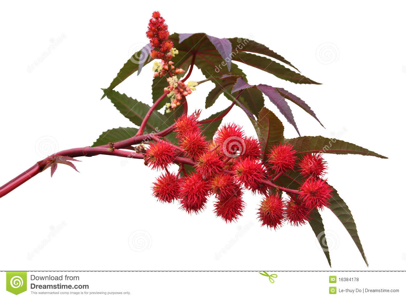 Red Castor Oil Plant Royalty Free Stock Photos.