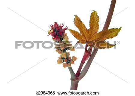 Stock Image of castor oil plant 23 k2964965.