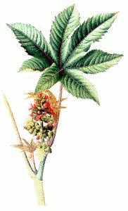 Castor Oil Plant.