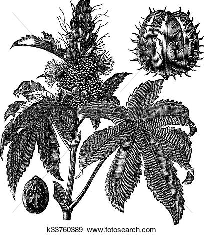 Clip Art of Castor oil plant or Ricinus communis vintage engraving.
