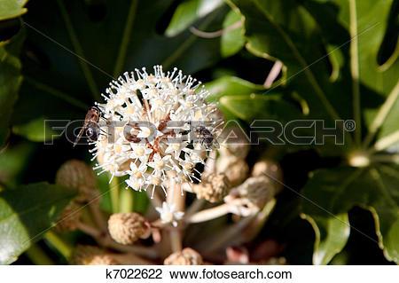 Stock Photo of Bee feeding on flowering Castor Oil plant (ricinus.