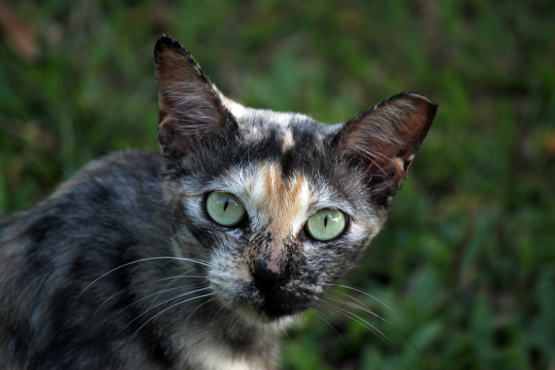 Castrated Wild Cat In Singapore Free Stock Photo.