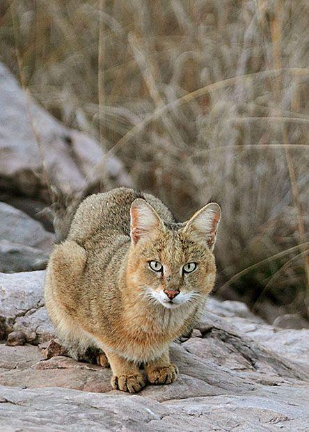 1000+ ideas about Jungle Cat on Pinterest.