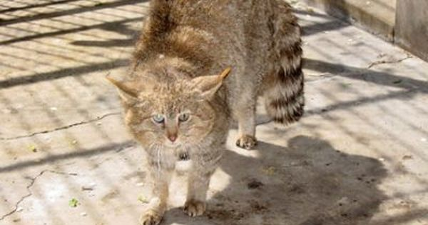 This is a captive Chinese mountain cat (believed photo copyright.