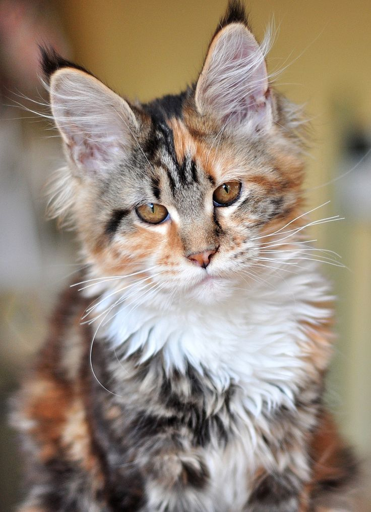 1000+ ideas about Tiger Cat Breed on Pinterest.