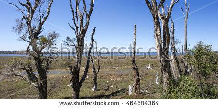 Casuarina Trees Stock Photos, Royalty.