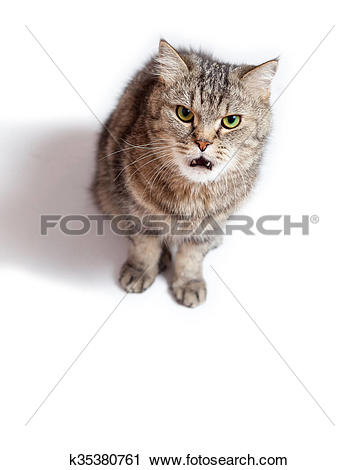 Stock Photography of Funny Crazy Cat with open mouth. k35380761.