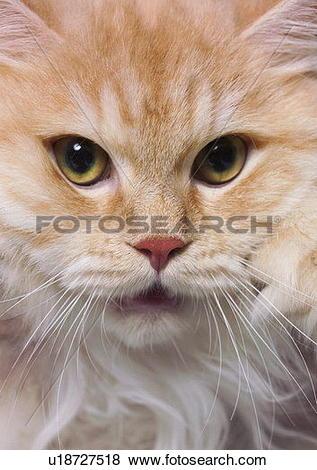 Pictures of carnivore, cat, chinchilla cat, close.