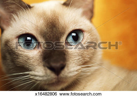 Stock Images of Tonkinese cat, close.